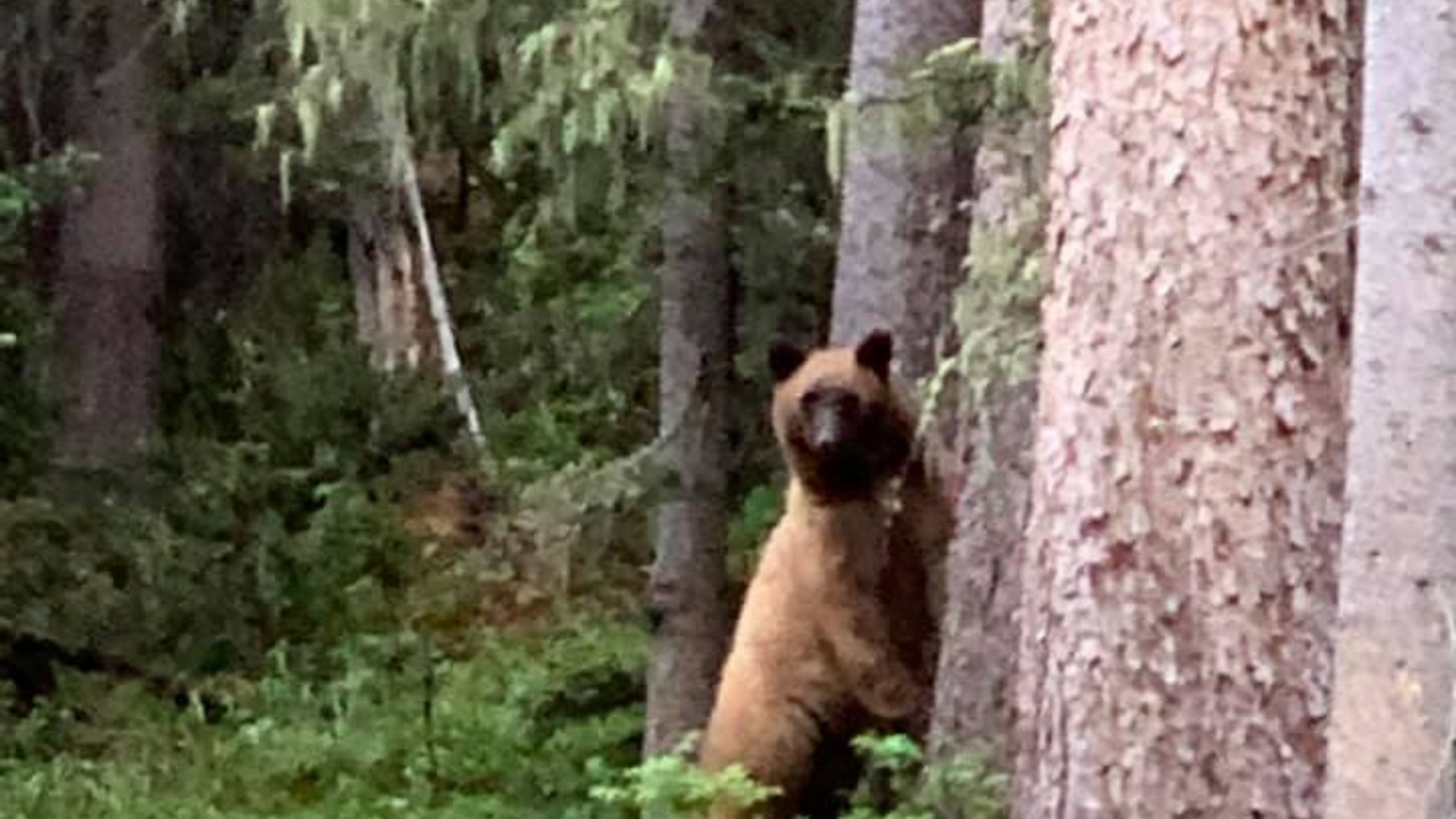 Blond Bear Red River NM